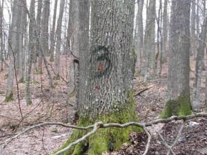 лес Волинь_o